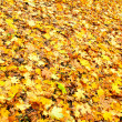 Fallen maple leaves - Stock Photo