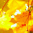 Stock Photo: Maple leaves and sunlight