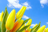 Tulips against blue sky — Stock Photo