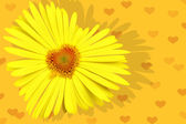 Yellow daisy-heart — Stock Photo