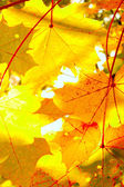 Maple leaves and sunlight — Stock Photo