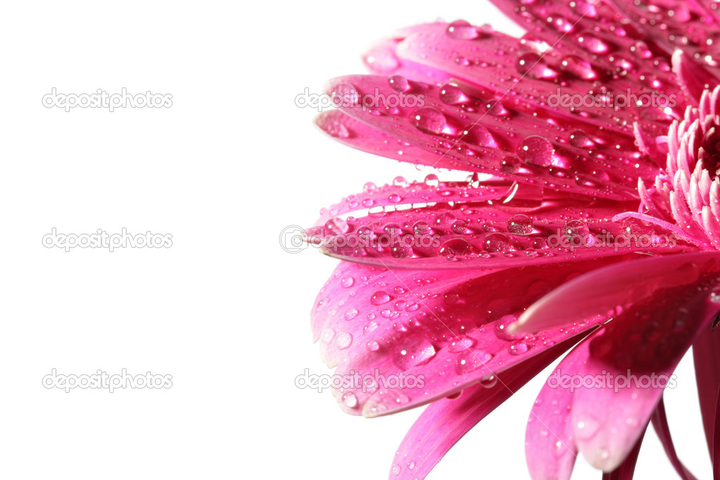 Pink daisy flower with dew isolated over white background — Photo #1420188