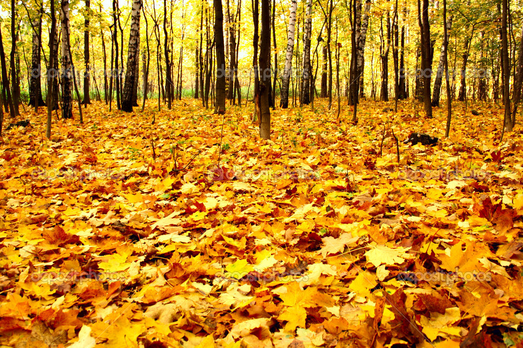 Edge of the forest wilth yellow dead maple leaves  Stock Photo #1427503