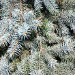 Blue spruce - Stock Photo