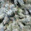 Blue spruce — Stock Photo #1431354