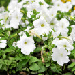 White petunia — Stock Photo