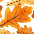 Dry oak leaves — Stock Photo