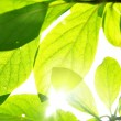 Green leaves and sunshine — Stock Photo