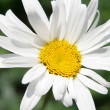 Single daisy — Stock Photo