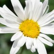 Stock Photo: Single daisy