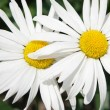 Two daisies — Stockfoto