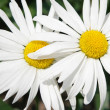 Stock Photo: Two daisies