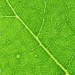 Green leaf macro — Stock Photo #1432611