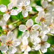 Branch with cherry blossom — Stock Photo