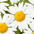 Daisies — Stock Photo #1435016