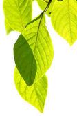 веточка с листьями — Стоковое фото
