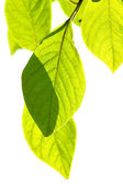 Kvist med blad — Stockfoto