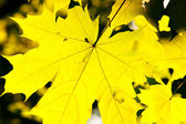 Yellow leaves of maple — Stock Photo