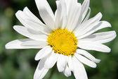 Single daisy — Stock Photo