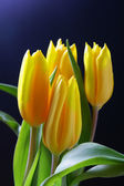 Tulips over black — Stock Photo