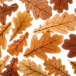 Dry oak leaves — Stock Photo #1440833