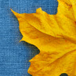 Maple leaf over jeans background — Stok fotoğraf