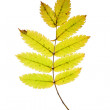 Rowan leaf - Stock Photo