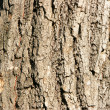 Bark of oak close-up — Stock Photo