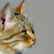 Tabby-cat — Stock Photo
