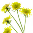 Flowering dandelions — Stock Photo