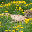 Cheetah — Stock Photo #1446432