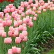 Tulips in garden — Foto Stock