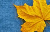 Akçaağaç yaprağı üzerinde kot arka plan — Stok fotoğraf
