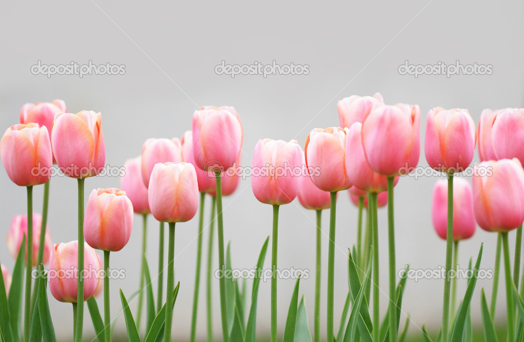 Lots of light pink tulips in a garden  Stock Photo #1446423