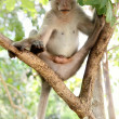 Macaque (rhesus monkey) sitting on the tree — Stock Photo #1452427