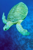 Green sea turtle (Chelonia mydas) — Stock Photo