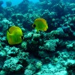 Masked butterflyfish — Stock Photo #1410992