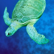 Stock Photo: Green seturtle (Chelonimydas)