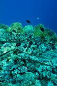 Needlefish on coral reef — Stock Photo