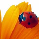 Ladybug on yellow flower — Stock Photo