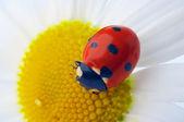 Ladybug on camomile flower — Stock Photo