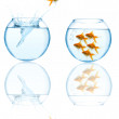 Goldfish leaping in aquarium - Stock Photo