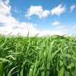 Green grass under blue sky — Foto Stock