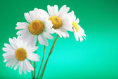 Camomile flower — Stock Photo