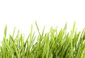 изолированные трава — Стоковое фото