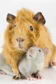 Rat and guinea pig playing — Stock Photo