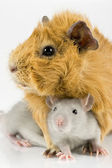 Guinea pig and rat playing on white — Stock Photo