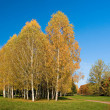 Birches — Stock Photo #1500737