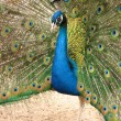 Stock Photo: Peacock with flowing tail