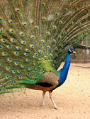 Peacock with flowing tail, profile — Stock Photo